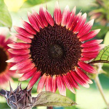 ηλιοτρόπιο πλανήτης αρης Sunflower Seeds - Ms Mars