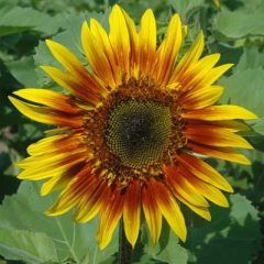 Sunflower The Joker F1