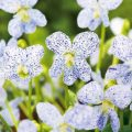 Viola Seeds-Freckles-vrosima-anthi