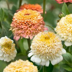 zinnia-portokali-kai-krem-peaches-and-cream
