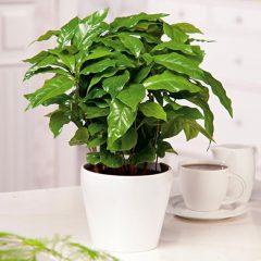 kafeodentro-barista-arabica-nana