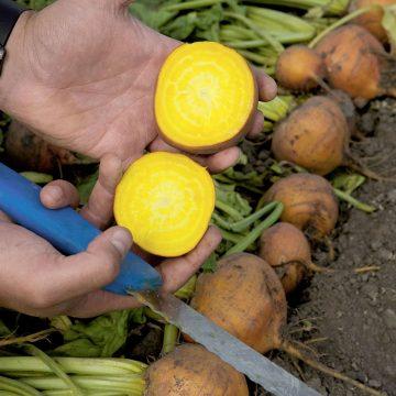 pantzari kitrino ybridio yellow cylidrical boldor f1