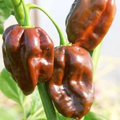piperia-chilli-poly-kayteri-habanero-chocolate