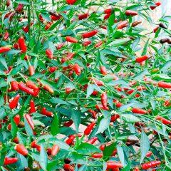 piperia-kauteri-tailandeziki-hot-thai