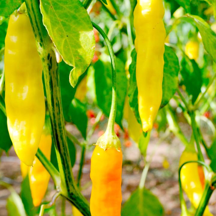 aji habanero chilli pepper
