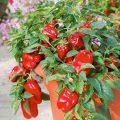 piperia-florinis-ybridio-redskin-f1