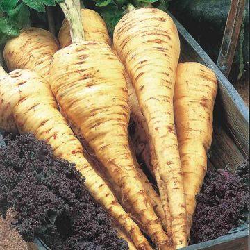 pastinaki-tender-and-true-dauki-parsnip