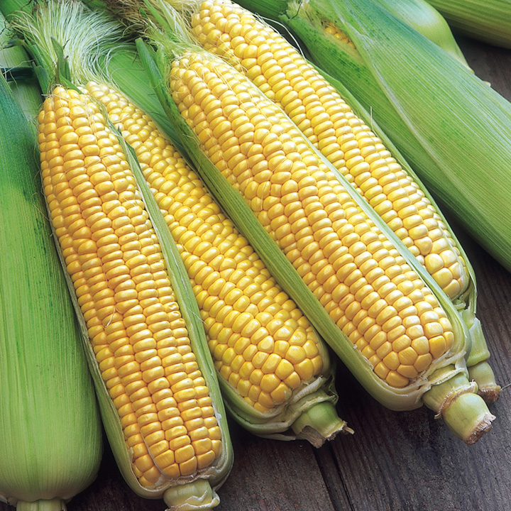 Sweet Corn Seeds - F1 Swift
