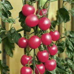 Tomato Seeds - F1 Pink Baby Plum