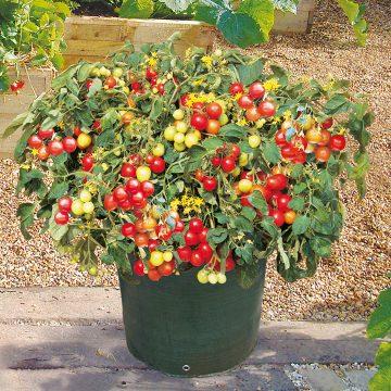 tomata-tseri-nano-ybridio-tumbler-f1