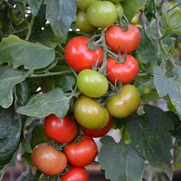 tomata-tsampi-crimson-crush-f1