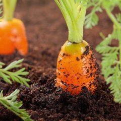 karota-sporotainia-diarkeia-paragogis-carrot-seedtape