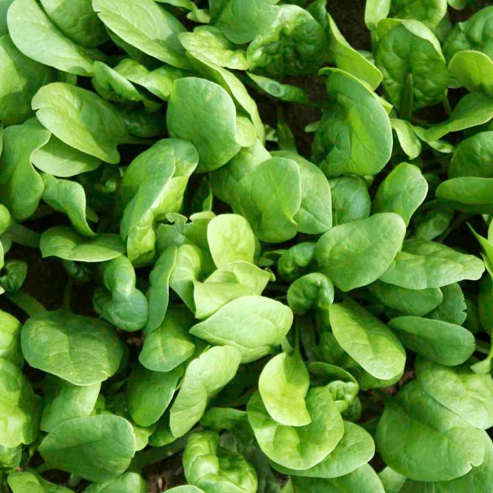 spanaki baby leaf amazon f1
