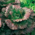 marouli-dichromo-salata-regina-di-maggio-biologikos-sporos